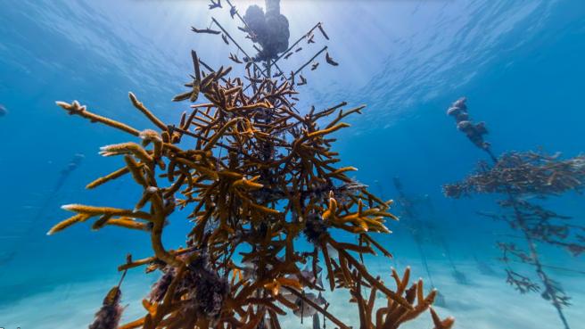 The Coral Nursery, Florida Keys, USA